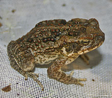 220px-Young_Bufo_marinus